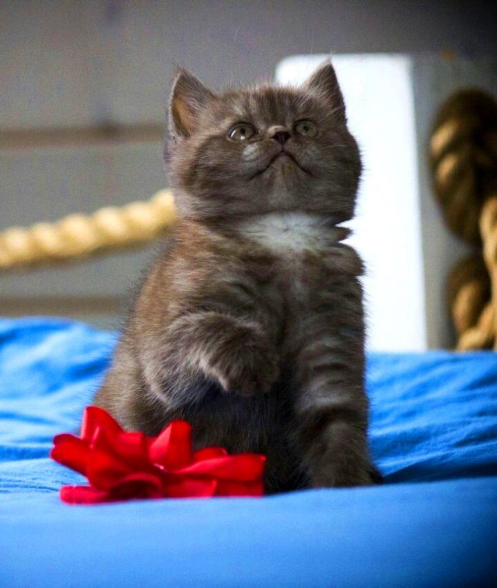 лиловый британец, фото лиловых британцев, британец лиловый фото, британский лиловый котенок, фото лиловых британских котят, британские котята фото лиловые, британские коты лилового окраса фото, британская кошка фото лиловая, фото лиловой британской кошки, британские котята лилового окраса фото, лиловая британская кошка, британские котята лилового окраса, британский лиловый кот фото, лиловый британский кот, лиловый окрас британских кошек фото, кот британец лиловый фото, британец лилового цвета, лиловый окрас британских кошек, британцы лилового окраса, британец лилового окраса фото, лиловый цвет британских кошек, британские котята лилового цвета, лиловый цвет британских кошек, британские котята лилового цвета, британская короткошерстная кошка лиловая, котята британцы лиловые фото, лиловые британцы котята, британцы коты лиловые, британский кот лилового окраса, британская кошка лилового окраса фото, британские котята лилового окраса фото, британцы лилового окраса фото, британский кот лилового окраса фото, куплю котенка, купить котенка, котята в минске, купить кота, купить кошку, купить в минске котенка, куплю котенка в минске, британская купить, куплю британского котенка, купить британского котенка, продажа котят, британские котята в минске, котята британцы, котенок цен