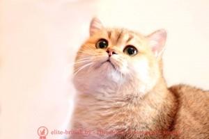 Британский золотой кот Balthazar Verso
