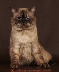 Британский кот шоколадный дымчатый пойнт (BRI bs 33 СHOCOLADE SMOKE POINT) CREAT GEROY. Вязка. Минск.
