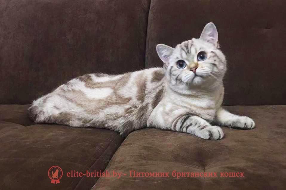 Лео - британский короткошерстный котик. Шикарный окрас как у снежного барса!
