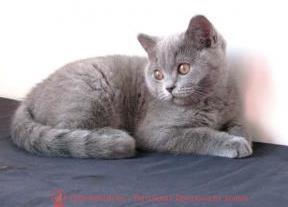 Британский голубой котенок Barbaris Pruss
