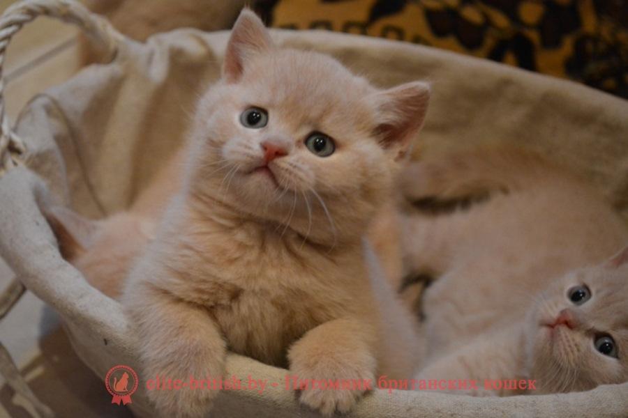 Британский кремовый (бежевый) котенок Hasna