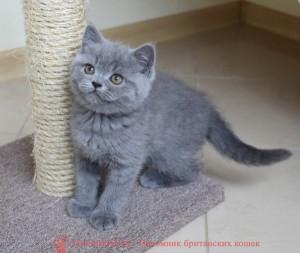 Британский голубой котенок Чарли