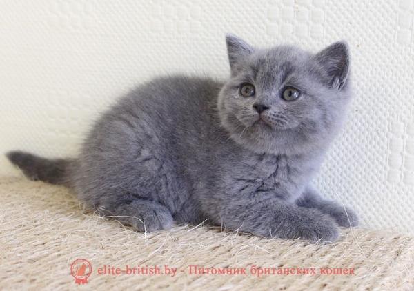 Британский голубой котенок CHELSEA (Челси)