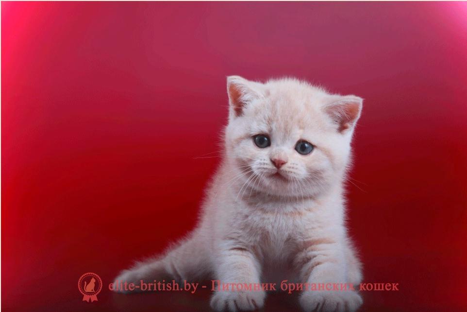 Галерея фото британского котенка кремового окраса Цербера