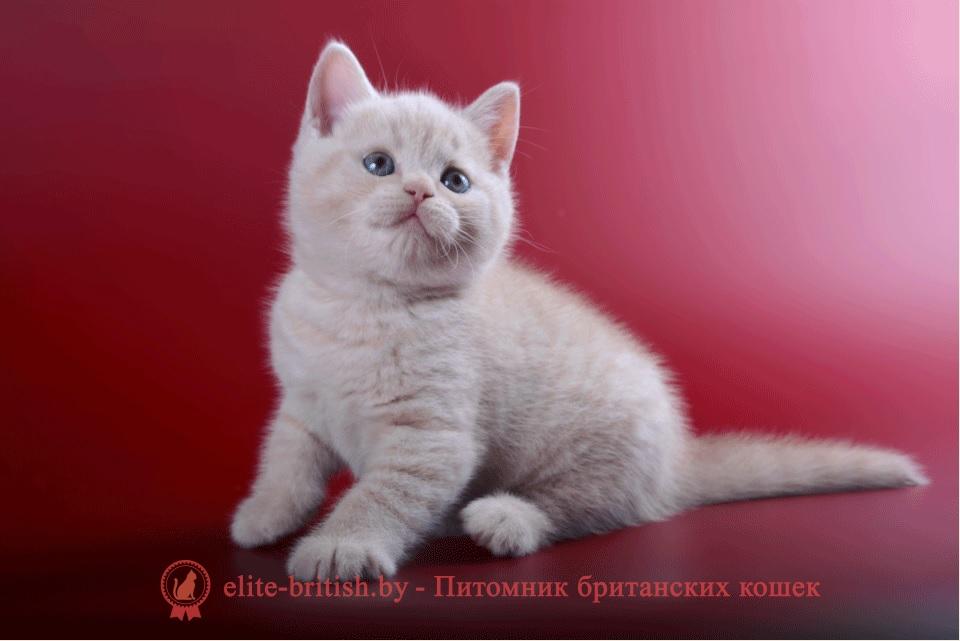 Британский кремовый (бежевый) котенок Cerber