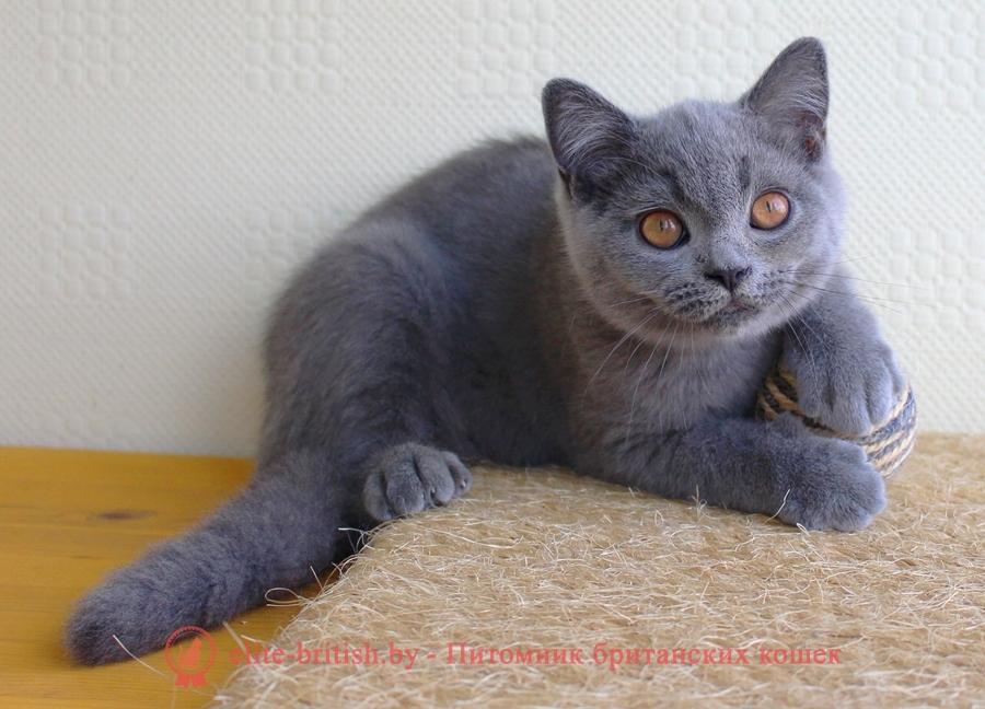 Британский голубой котенок Челси