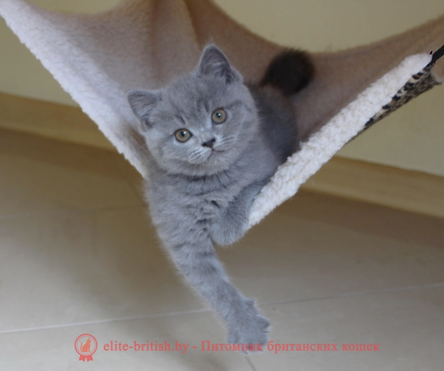 Британский голубой котенок CHARLIE (Чарли)