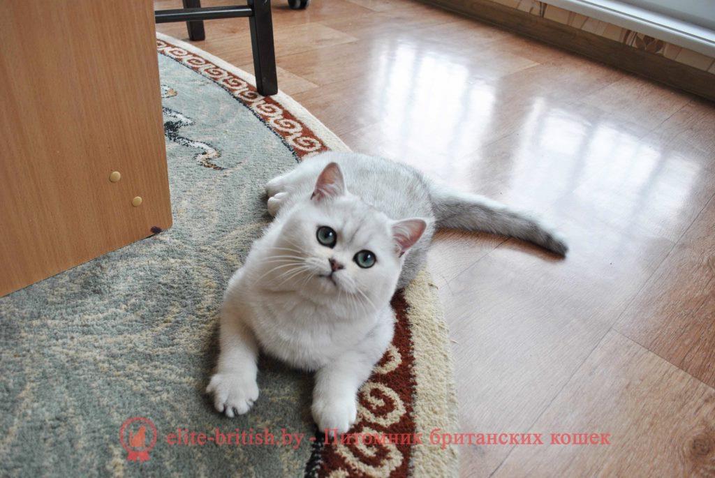 Британский котенок серебристая шиншилла Moris (Морис)