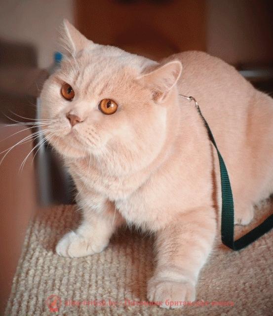 Кот британец вязка минск