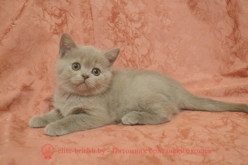 Британский лиловый котенок Cristall