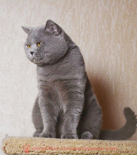 Вязка британского кота голубого окраса