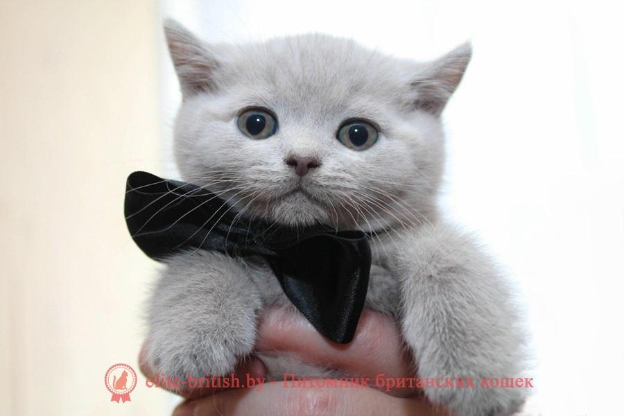 Британский лиловые котята