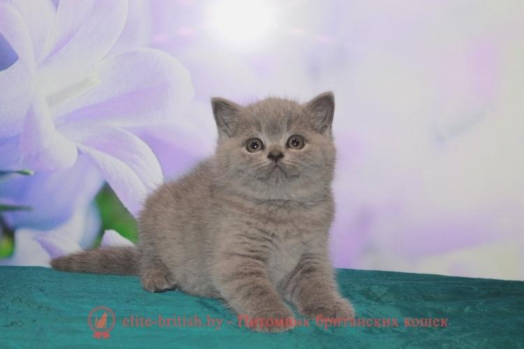 продажа британского котенка в минске