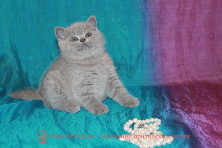 Британский голубой котенок Марго