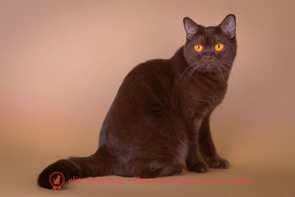фото британских котят от 2 месяцев