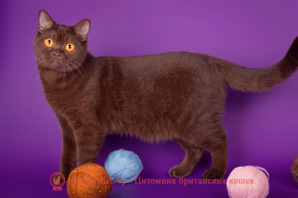Окрасы котят Выбираем цвет котенка  Выбор котенка