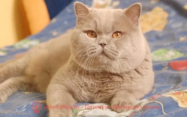 Все о британском лиловом коте