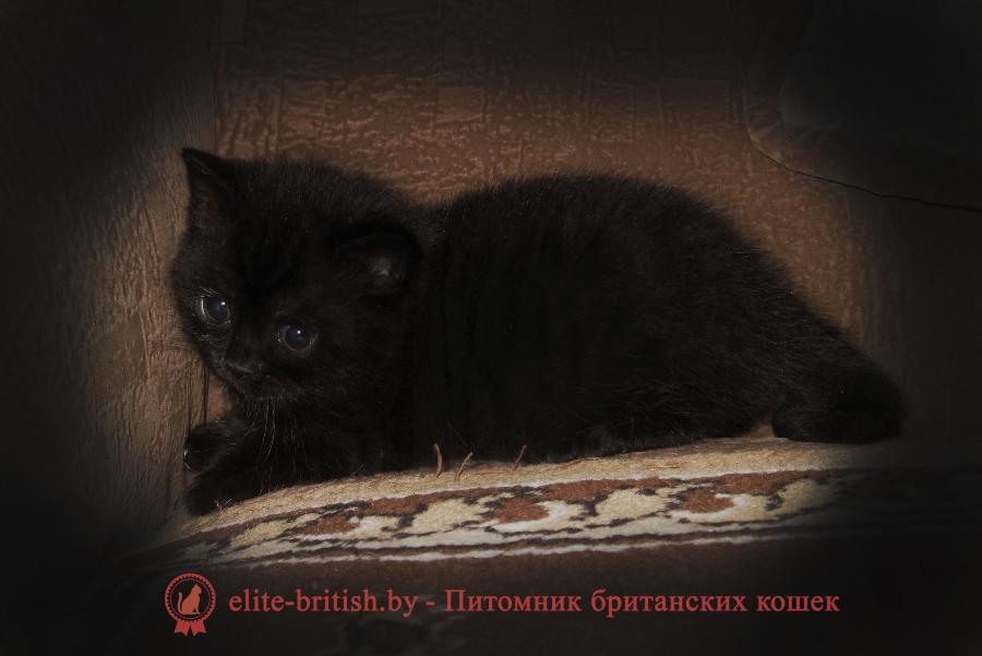 Британский котенок черный NJUSHA