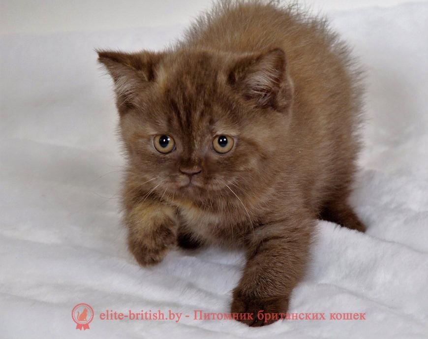 Британский котенок шоколадная черепаха Triniti