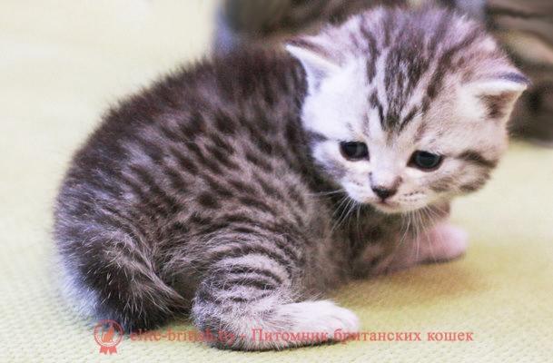 БРИТАНСКИЙ КОТЕНОК серебристый леопардовый (пятнистый) Клаус