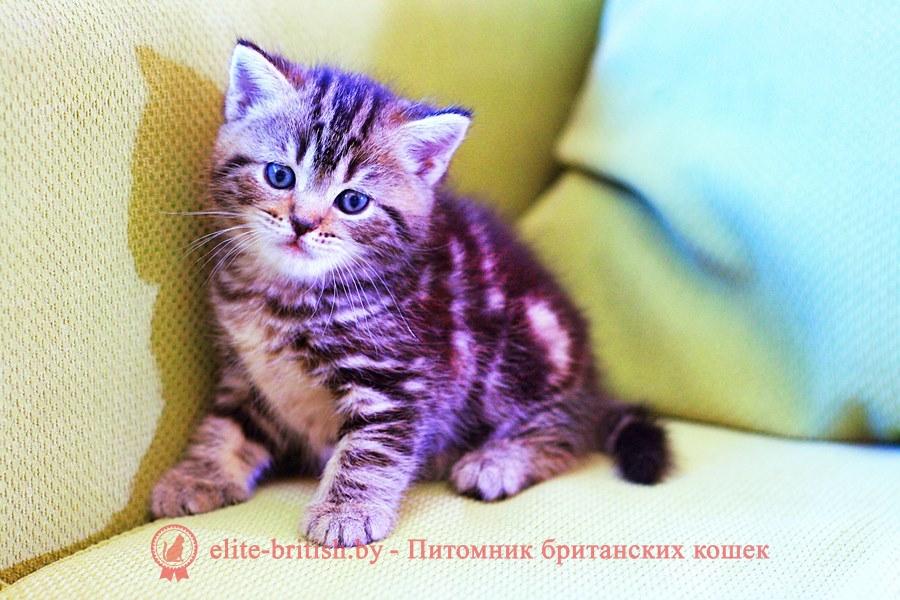 БРИТАНСКИЙ КОТЕНОК шоколадный мраморный - Сalvin Pruss