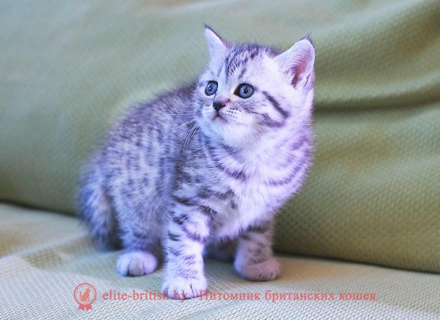 БРИТАНСКИЙ КОТЕНОК шоколадный леопардовый - Клаус