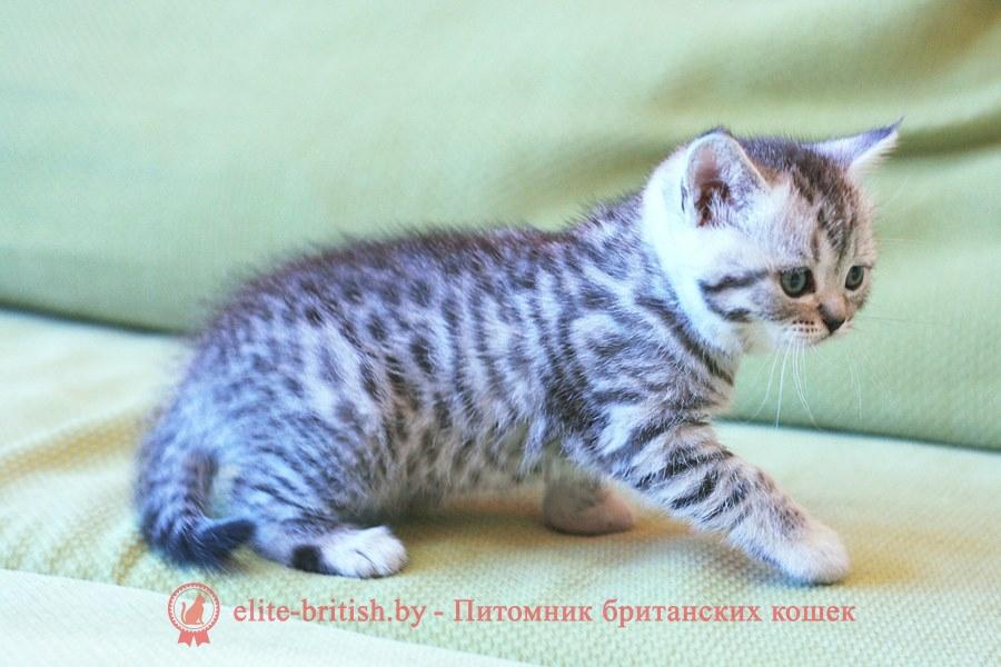 БРИТАНСКИЙ КОТЕНОК серебриcтый леопардовый - Клаус