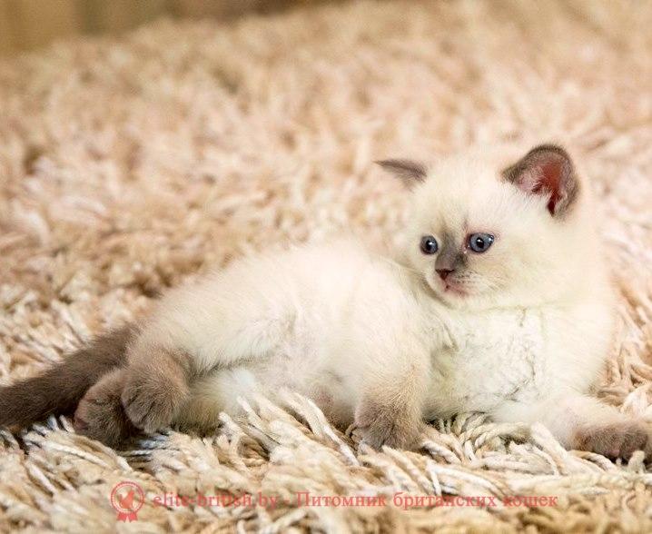 Голубой котенок
