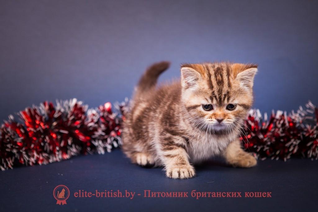 БРИТАНСКИЙ КОТЕНОК шоколадный мраморный - Тиана