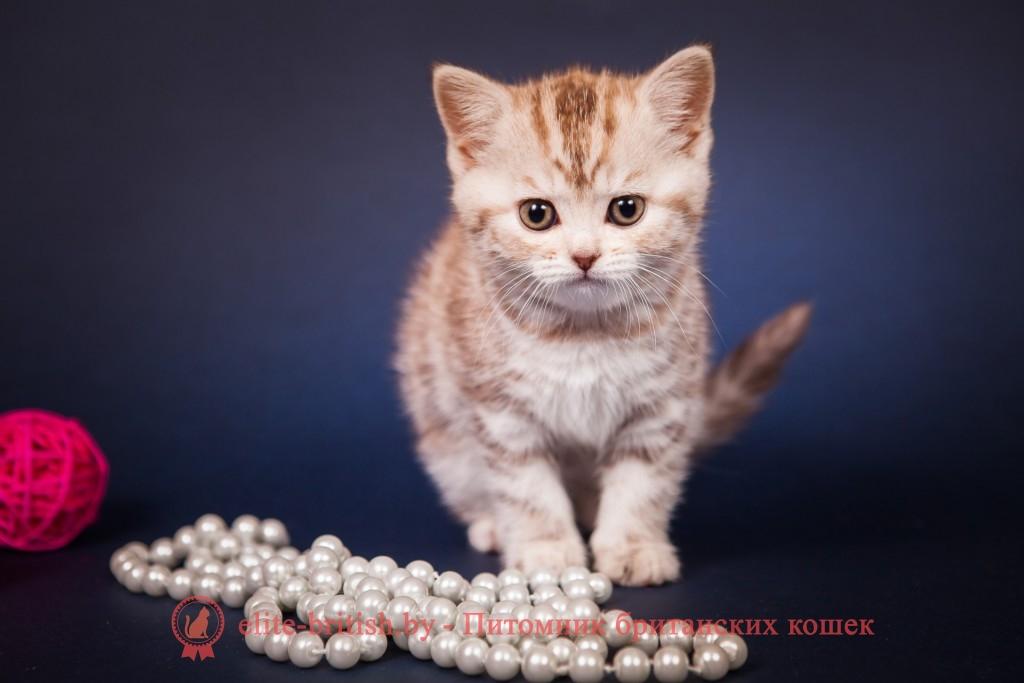 БРИТАНСКИЙ КОТЕНОК шоколадный серебристый мраморный Tiara