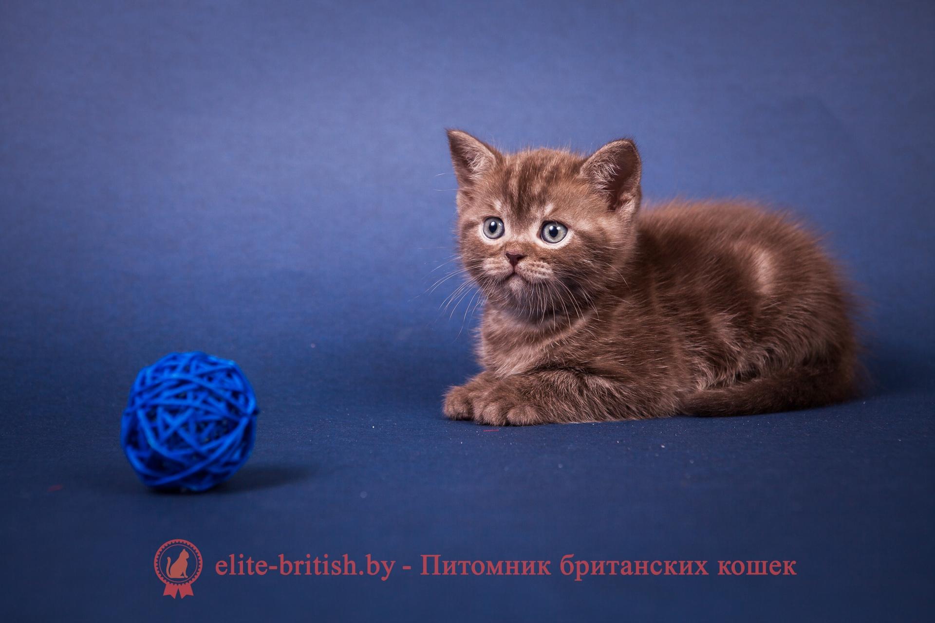Продажа британского котенка (британца) в Минске в питомнике