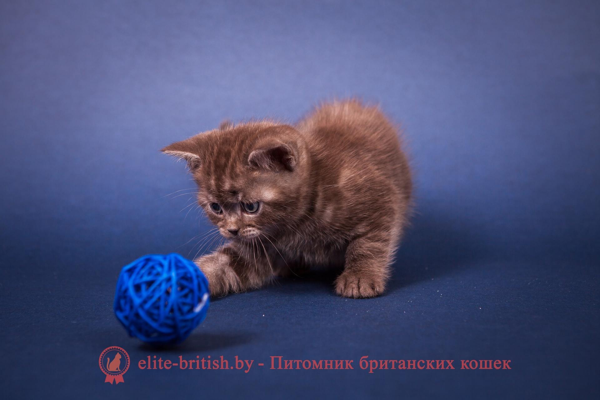 БРИТАНСКИЙ КОТЕНОК шоколадный дымчатый - Томас
