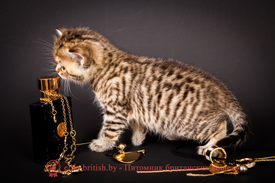 Британский котенок золотой леопардовый Грейс