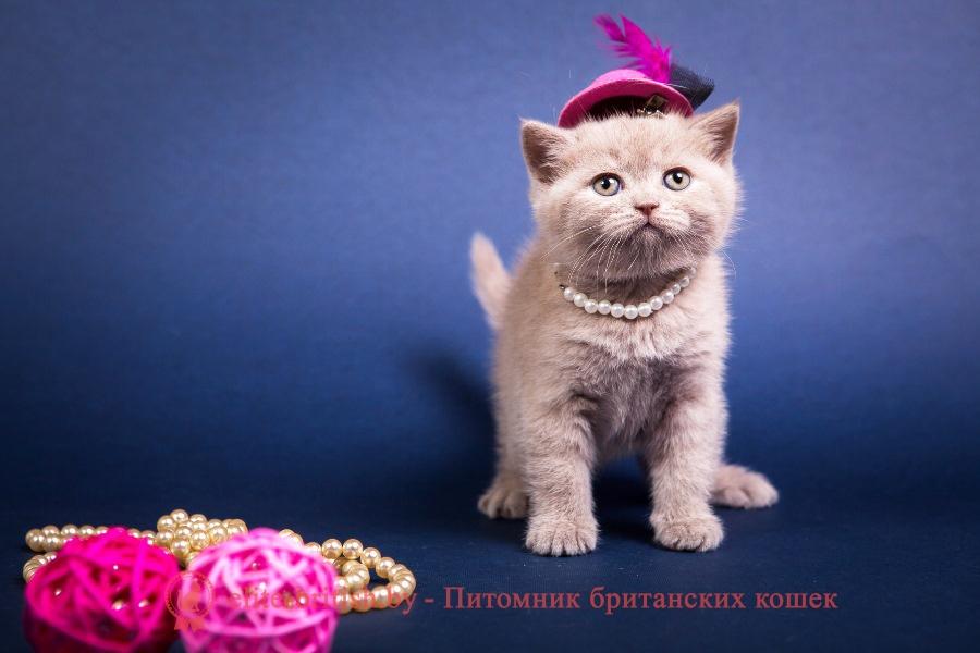Британский котенок лилового окраса Алексис