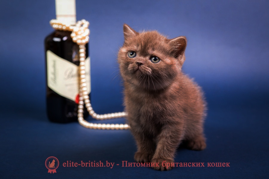 Британский шоколадный котенок Аника