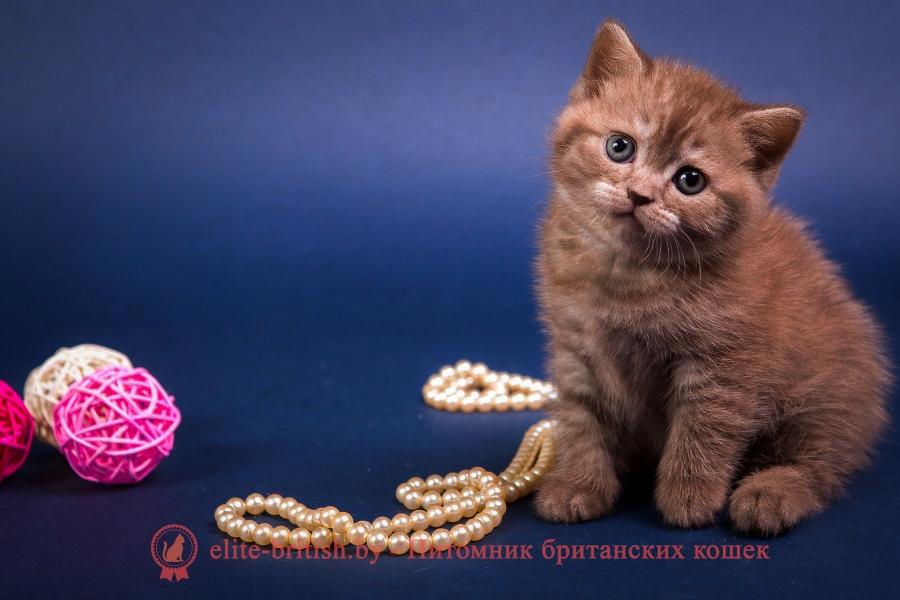 Британский котенок шоколадного окраса Ассоль