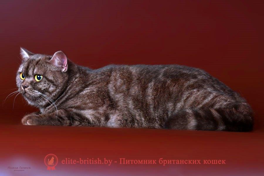 Британский котенок шоколадного дымчатого окраса Хиллэри