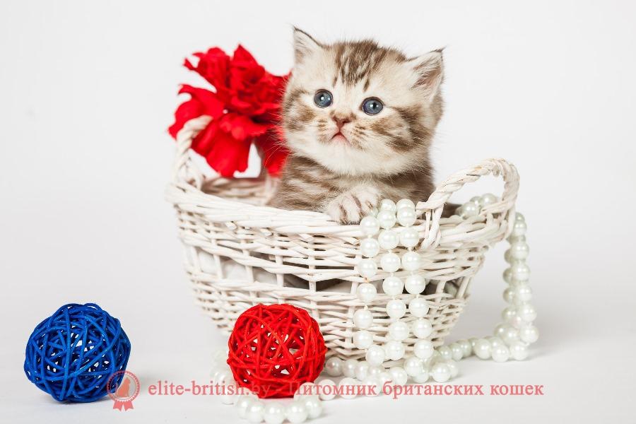 Британский котенок шоколадного серебристого тигрового окраса Хаммер
