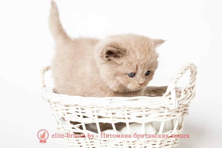 Британский котенок лилового окраса Ханни