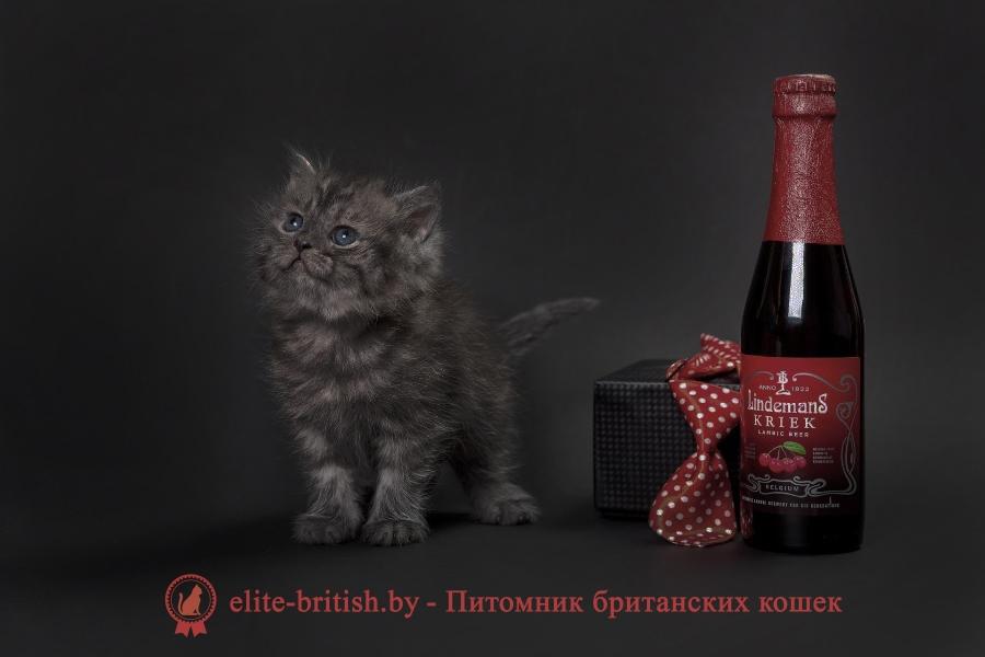 Британский черный дымчатый котенок Харди
