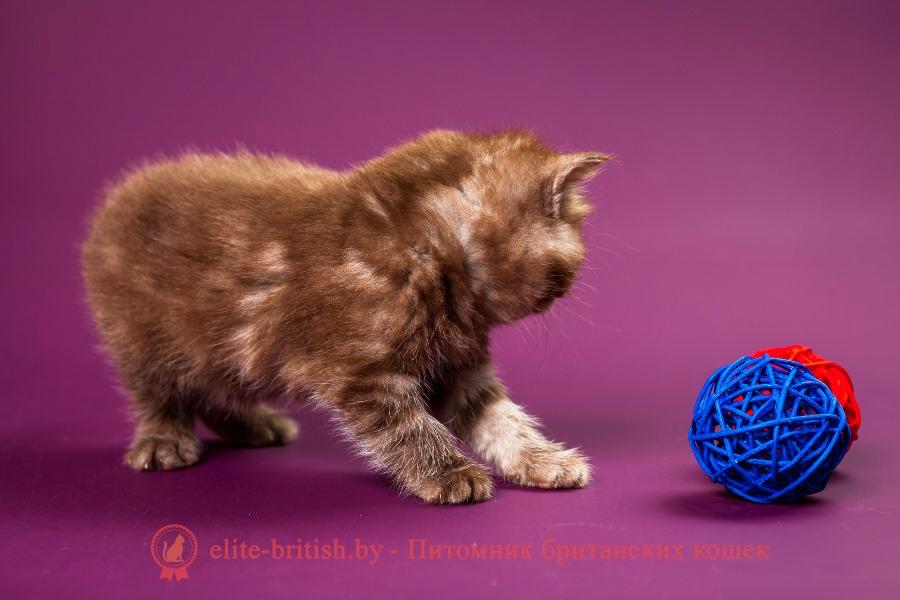 Британский котенок шоколадного окраса Хиллэри
