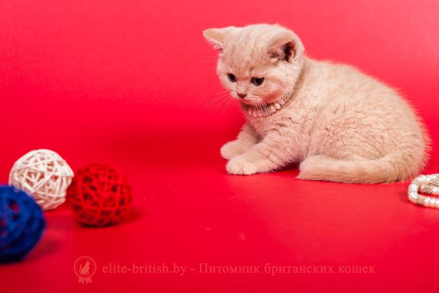 Британский котенок кремовый Lada Lukosan (Лада)