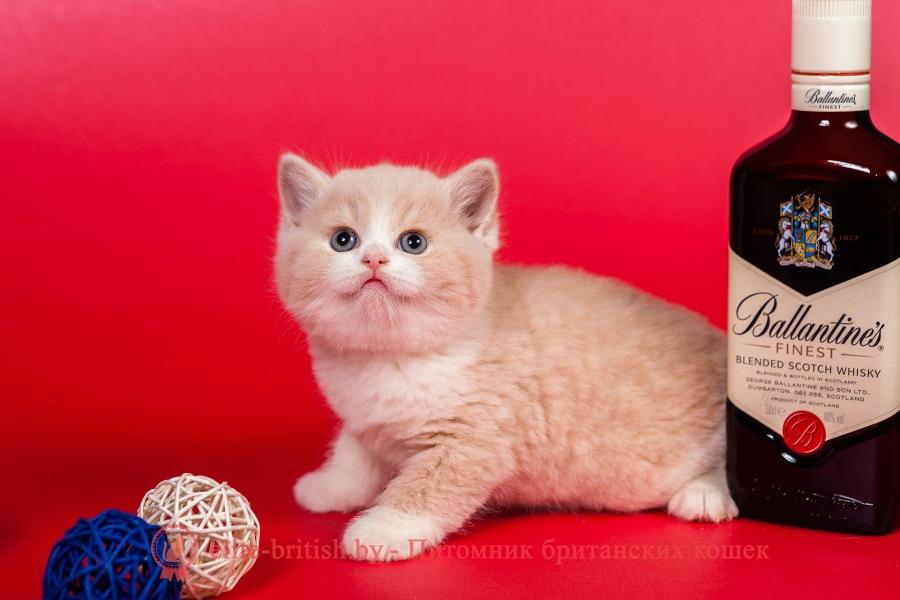 Британский котенок кремовый биколор Leo Lukosan (Лео)