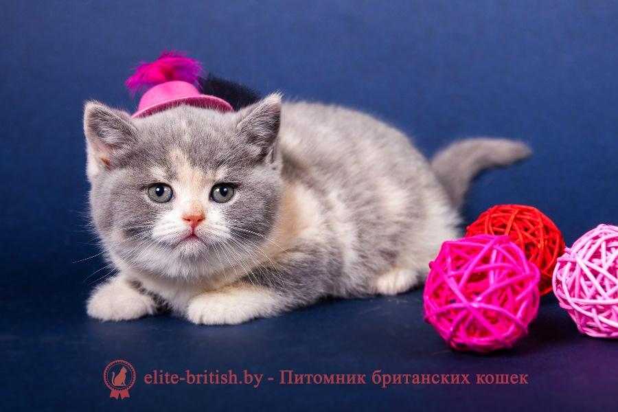 Британский котенок голубо-кремовый биколор - калико, триколор Ljalja Lukosan (Ляля)