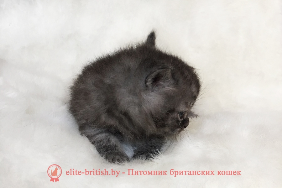 Британский котенок черного окраса Харди