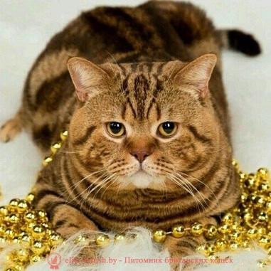 Британский кот шоколадный мрамор INT.CH. Laertes Panie Niasvizu