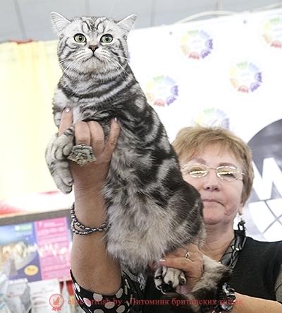 Британский кот CH. Odin Gentle Fur (Bri ns 22 64)