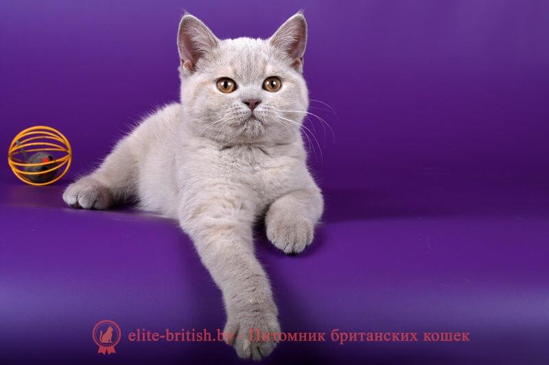 Британский котенок лилово-кремового окраса Черри