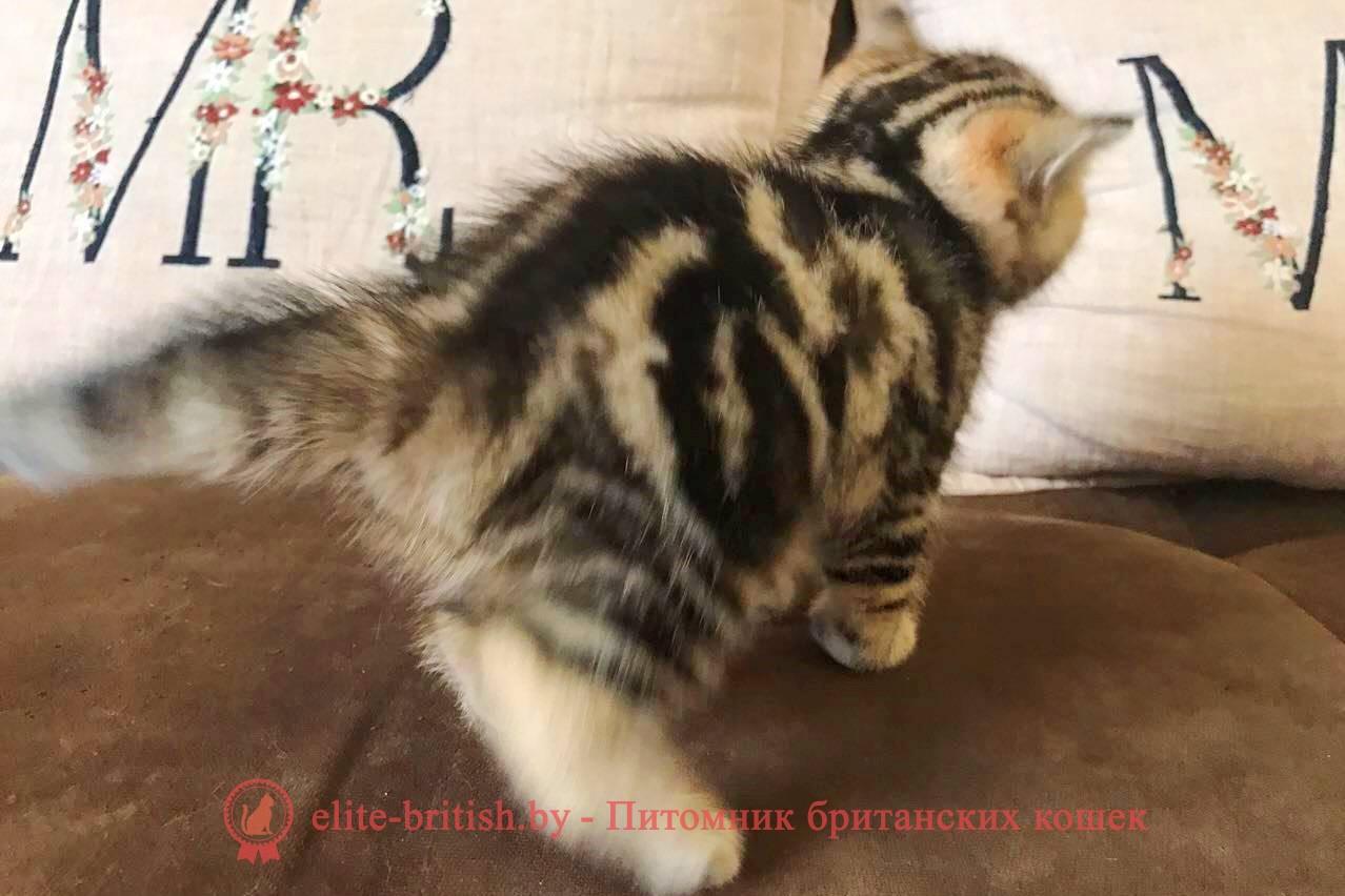 Британский котенок золотого мраморного окраса Изюмка